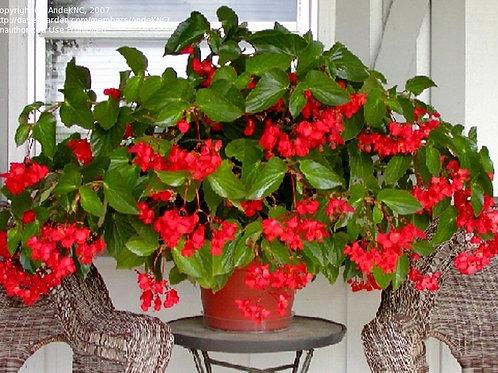 Red Dragon Wing Begonia - Filler