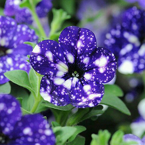 Petunia - Headliner Night Sky - FILLER!