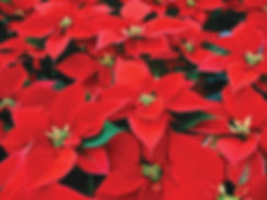 Red_Poinsettia.jpg