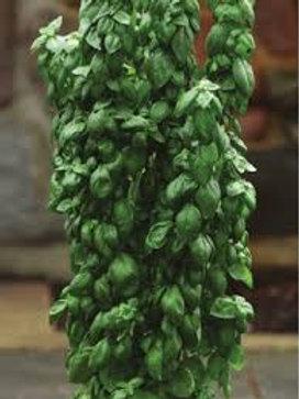 Basil - Emerald Towers - Herb