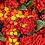 Thumbnail: Lantana - Luscious Royale Red Zone - Filler!