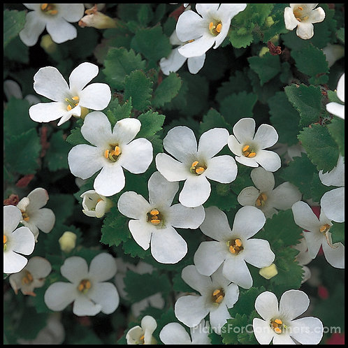 Bacopa - Snowstorm Giant Snowflake