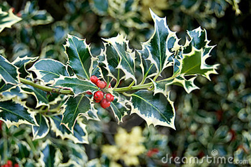 Variegated Holly Bundle