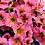 Thumbnail: Petchoa - SuperCal Sunray Pink - FILLER/SPILLER!