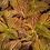 Thumbnail: Coleus - Golden Dreams - FILLER