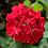 Thumbnail: Dark Red Geranium - FILLER!