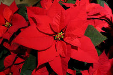 Sowstopper! - Tall Red Poinsettia
