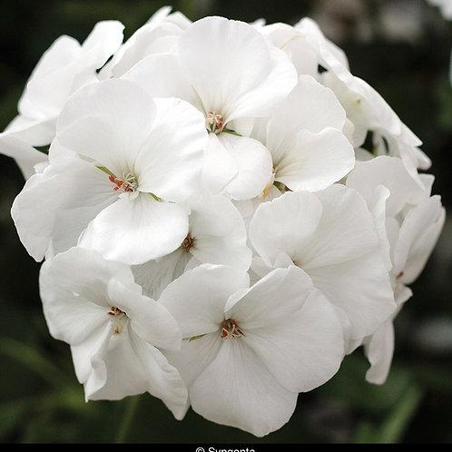 White Geranium - FILLER!