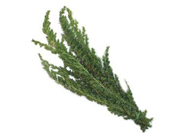 Ming Pine