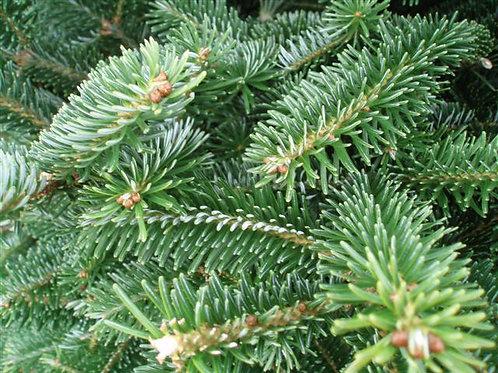 Short needle Pine