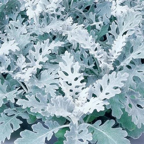 Dusty Miller - Silver Dust - Filler