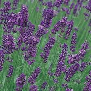 Lavender - Munstead - Landscape Herb
