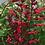 Thumbnail: Salvia Roman Red -Thriller!