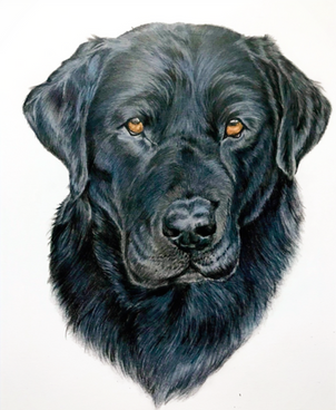 Handsome Black Labrador