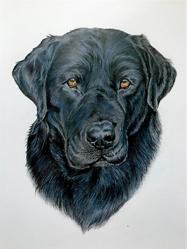 Handsome black lab portrait