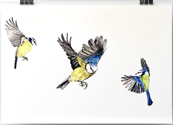 """""""Blue tit study""""Limited edition giclee print"""