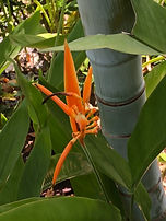 gorgeous tropical flowers in the Panama area are common.
