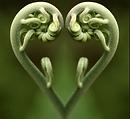 fern shaped like a heart