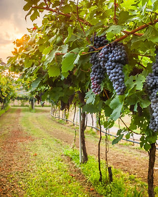 grape harvest.jpg