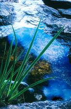 Blue River Iris
