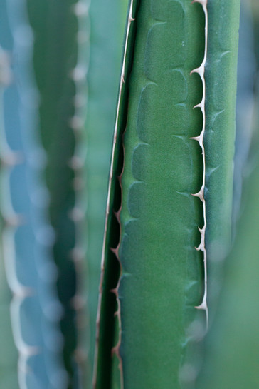 Agave Amore