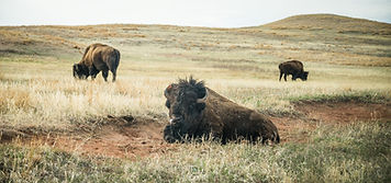 Buffalo Tours South Dakota