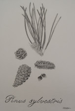 Scientific-Illustration-Tracy-Holsapple.