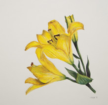 yellowlilysmallfile.jpg