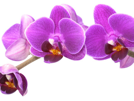 Comment entretenir une Orchidée ?