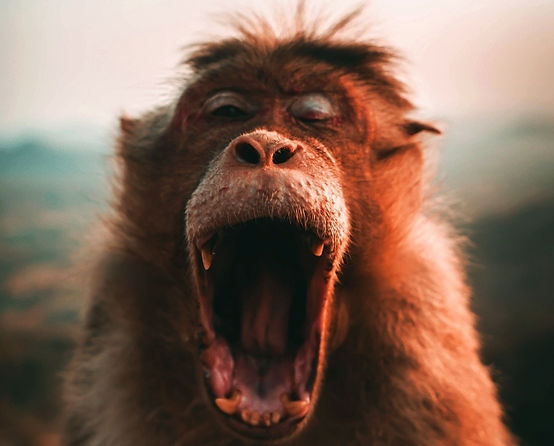 An orangutan yawning