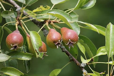 pears-3481351_640.jpg