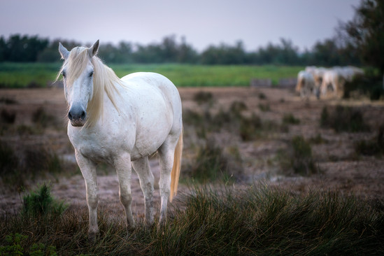 "kôň ""Camarque"""