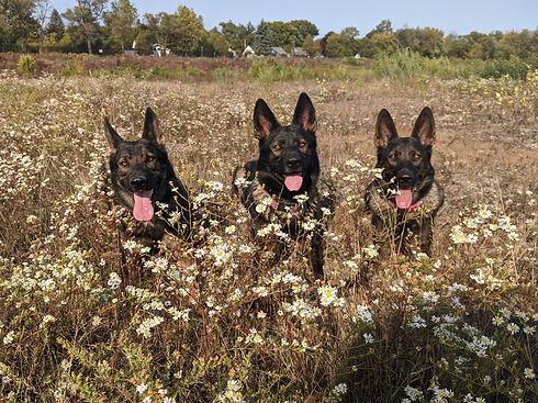3 Sheps in flowers.jpg