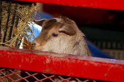 Baby Goat in Barn