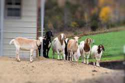 Sue's Goats
