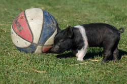 Piglet and Basketball