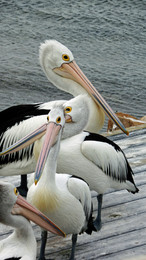 Tea Time for Pelicans