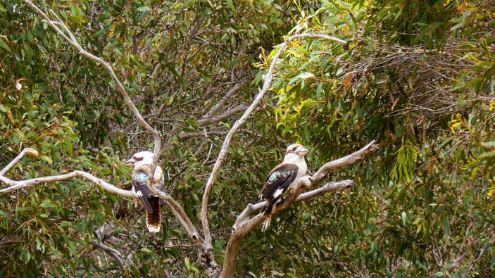 Don't Talk to Me, Kookabura