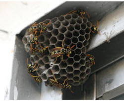 Wasps (Hornets and Yellow Jackets)