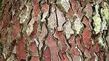 pine bark pic.png