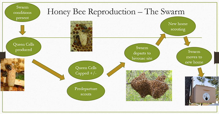 Swarm reproduction infographic.PNG