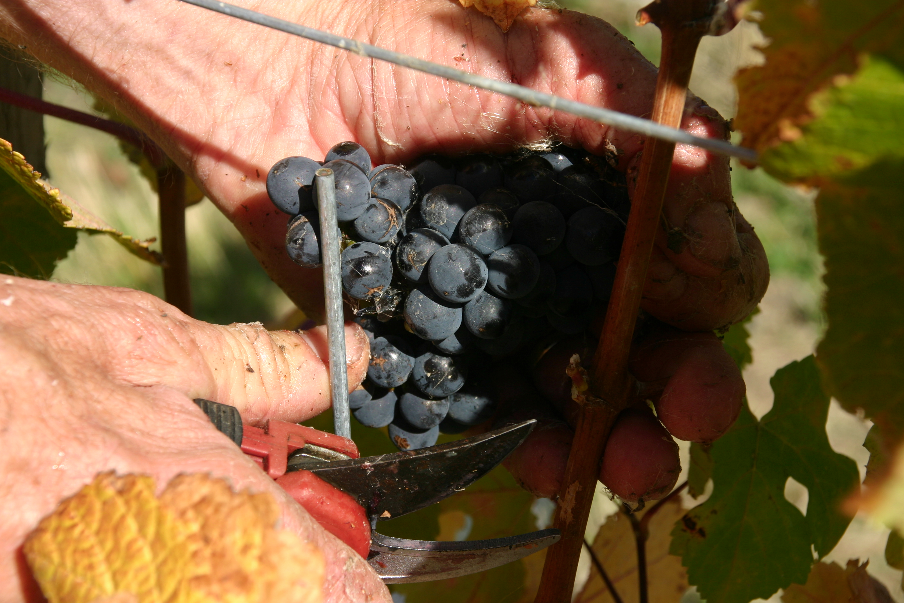 hand cutting grapes:2.png