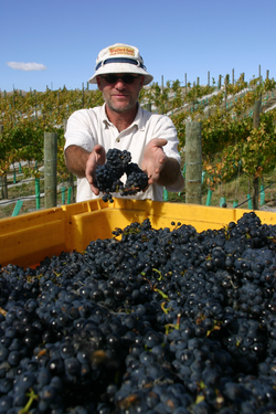 Holger grapes.png