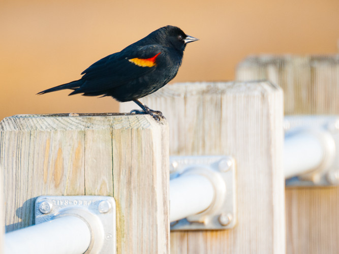 Red Winged Black Bird_Frank Giarnese_Sec
