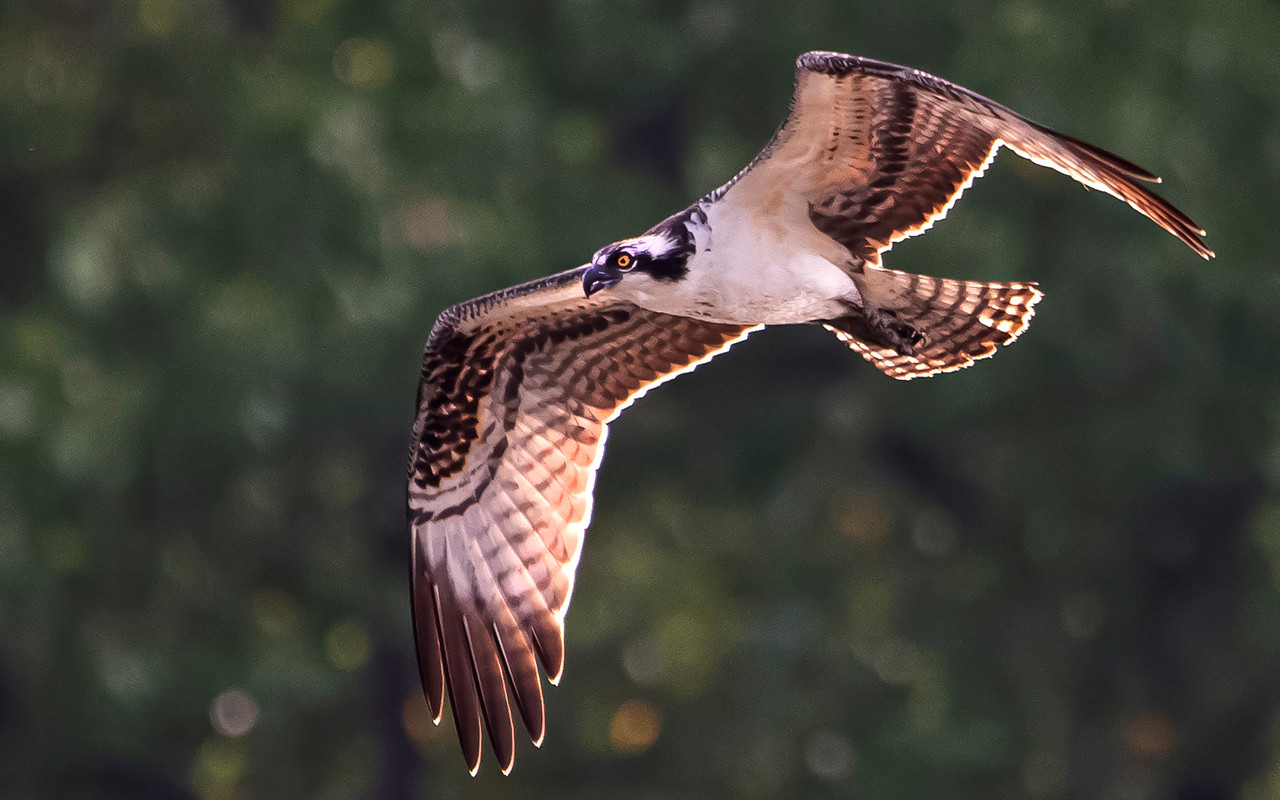 Osprey in flight_First Place_Eric Larson
