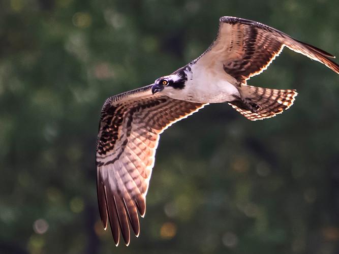 Osprey in flight_First Place_Eric Larson