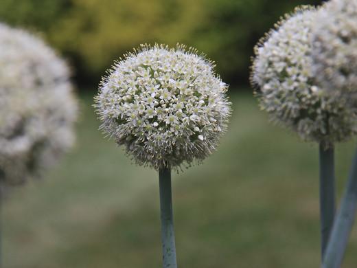 White Allium_Honorable Mention_Louisa Leto