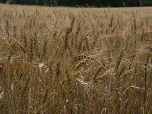 Summer Wheat_First Place_First Place.jpg