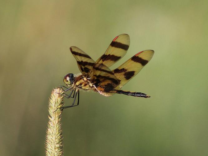 Dragon Fly_Cheryl Martinelli_24.3_24.3.j
