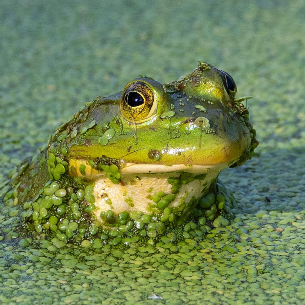 Waiter, frog in soup_1st Michael Krampitz